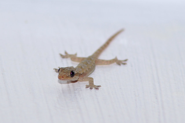 Common House Gecko on the wall