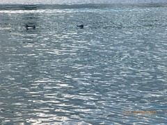 Jervis Bay - Dolphins