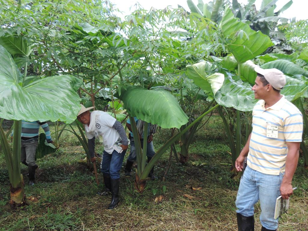 Bore (Xanthosoma spp.) para alimentación animal
