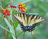 Tiger swallowtail in scarlet milkweed by Vicki's Nature