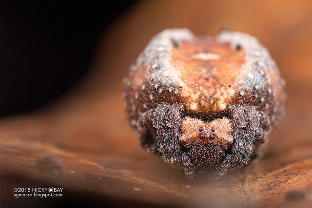 Roly poly orb weaver (Xylethrus scrupeus) - DSC_4470