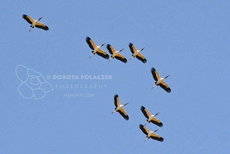 Wood storks (Mycteria amaricana)
