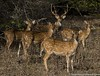 Spotted deer family