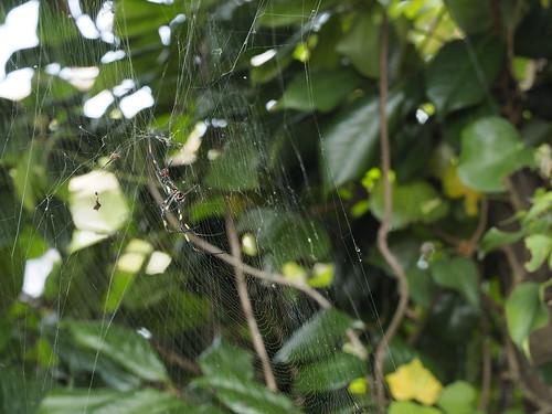 椿とジョロウグモ