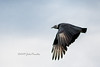 The flight of the Black Vulture