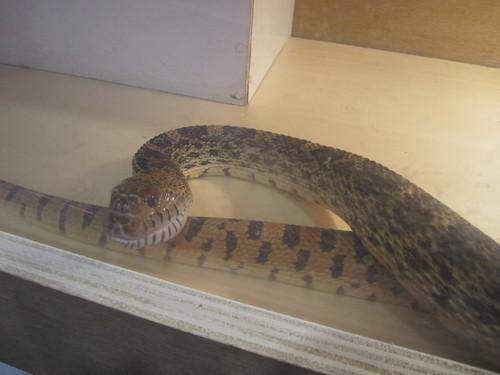 pithophis melanoleuca - Serpente toro
