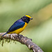 Orange-bellied Euphonia by Andy Morffew