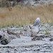 snowy owl (juvenile female) by quadceratops