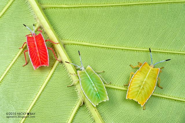 Giant shield bugs (Tessaratomidae) - DSC_6619