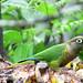 Maroon-bellied Parakeet (John Caddick)
