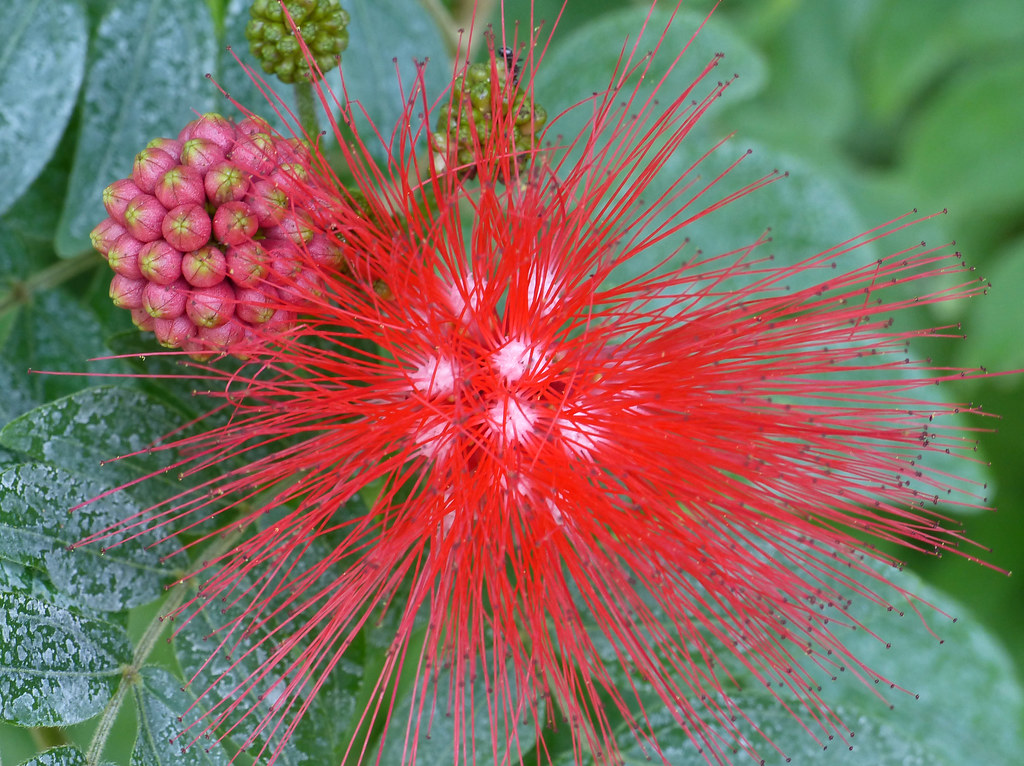 Red Powderpuff (Calliandra haematocephala)