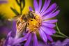Bee On Purple Flower-2016-12.jpg