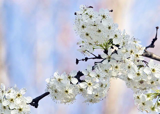 Aristocrat Pear Tree Blossoms 2009