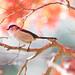 エナガ  Long-tailed Tit by myu-myu