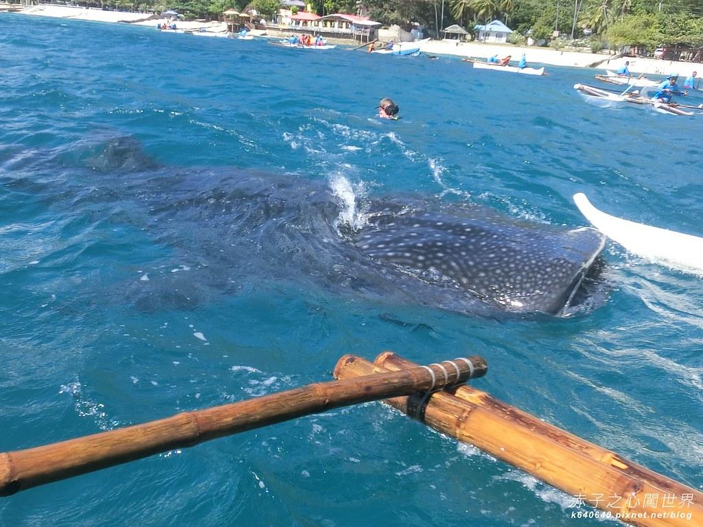 宿霧鯨鯊游泳-Oslob Whale Shark-007
