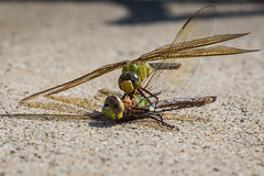 locust(0.0), arthropod(1.0), animal(1.0), dragonfly(1.0), dragonflies and damseflies(1.0), wing(1.0), invertebrate(1.0), macro photography(1.0), fauna(1.0), close-up(1.0),