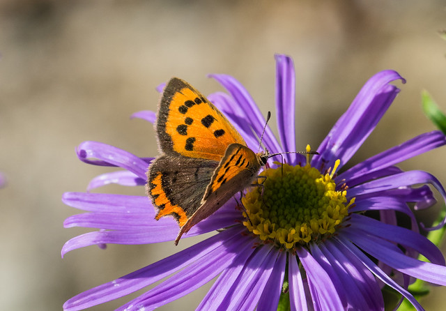 small copper butterfly 001-8140331