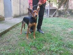 dog breed, animal, dog, german pinscher, dobermann, pet, pinscher, carnivoran,