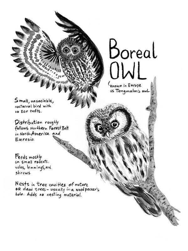 Owls_24_Boreal_Owl