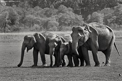 Family! #asiaticelephants #elephants #mammals #animal #wild #wildlife #wildlifephotography #black&whitephotography #family #love