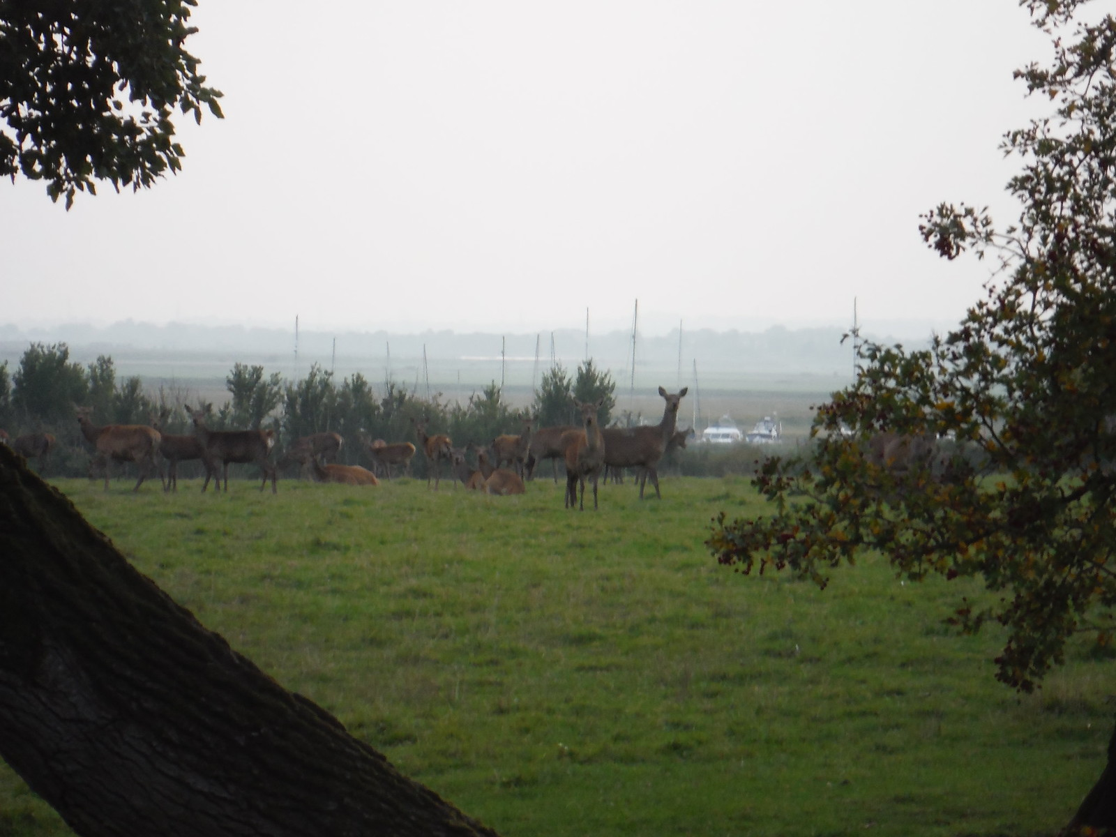 Deer and Sailing Boats (North Fambridge) SWC Walk 159 South Woodham Ferrers to North Fambridge