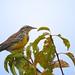 Western Meadowlark by VancouverBirder