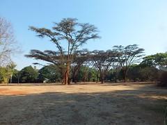 Flat-top Acacia