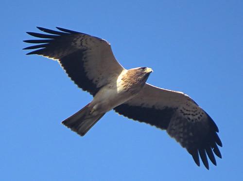 Booted Eagle Aquila pennata Cabranosa, Sagres, Portugal October 2015