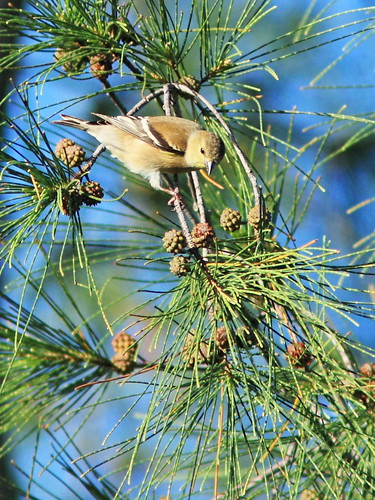American Goldfinch 4-20151209