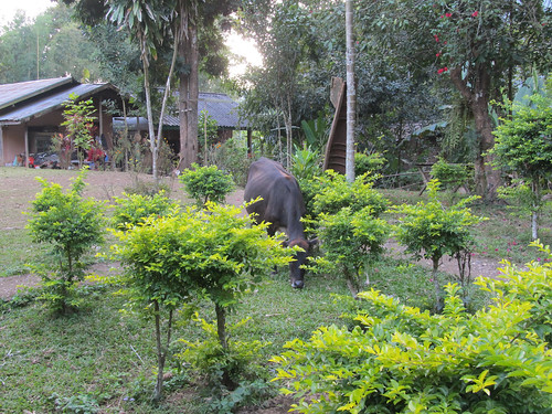 Muang Ngoi: Madame la vache vient, en toute liberté, brouter dans le jardin de notre guesthouse