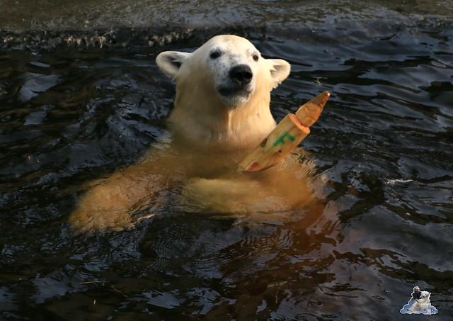 Eisbär Fiete im Zoo Rostock 12.12.2015   144