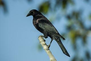 Giant Cowbird - Pantanal - Brazil_H8O0545