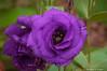 Purple Rose-2016-4.jpg