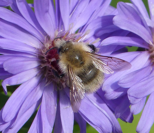 Faded Bombus pascuorum