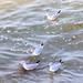 Seagulls just bobbing along.... :-)