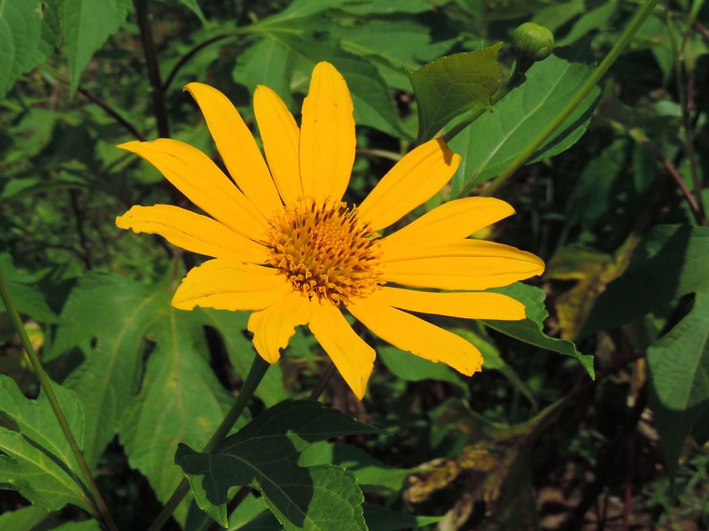 Flor de botón de oro (Tithonia diversifolia)