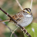 White Throated Sparrow by tresed47