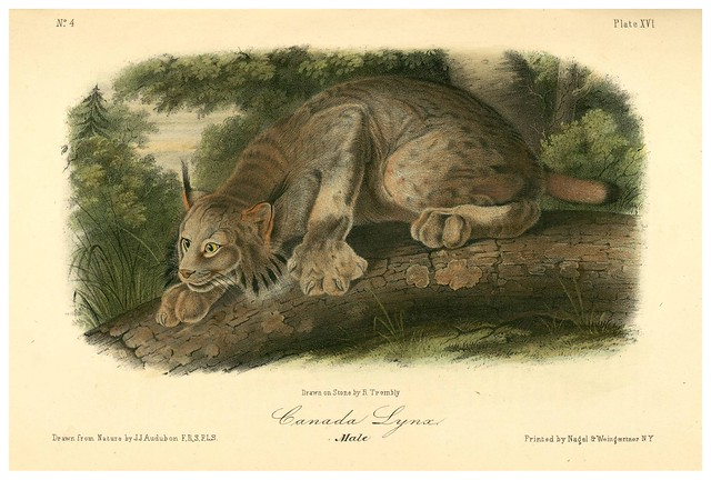 008- Lince del Canada-The quadrupeds of North América-Vol1- 1849- J.J. Audubon-Universite de Strasbourg