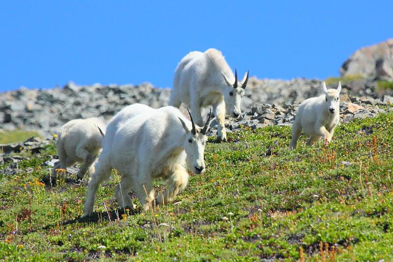 IMG_6032 Mountain Goat, Mount Rainier National Park