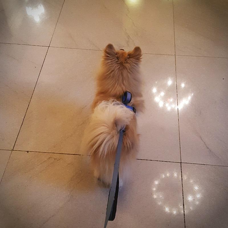 Hennessy Pomeranian