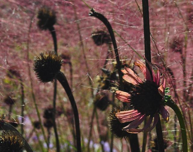Muhlenbergia capillaris and Echinacea (Gravel Garden) (2)