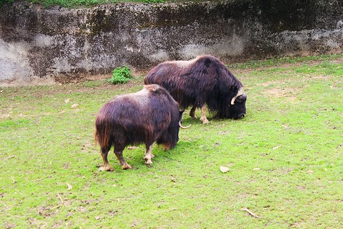 two water buffalos eating grass