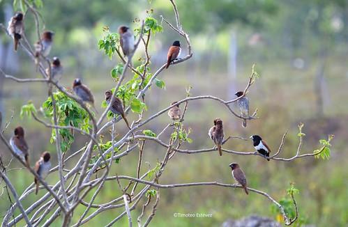Ciguita Pechijabao ( Lonchura punctulata) y Monjita tricolor (Lonchura malacca)