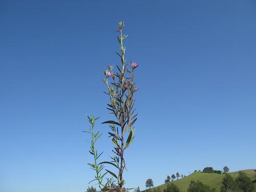 Misopates orontium plant1 NC