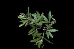 Quercus incana