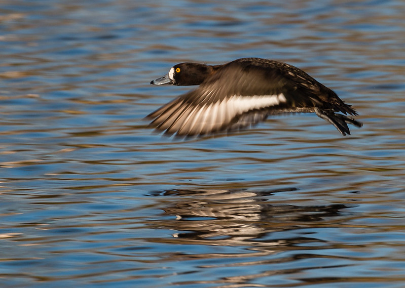tufted duck 020b (165)