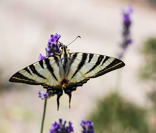 swallowtail on lavender