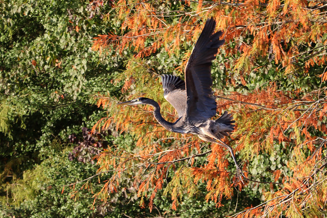 Great Blue Heron taking off from Bald Cypress...6O3A8873Ab