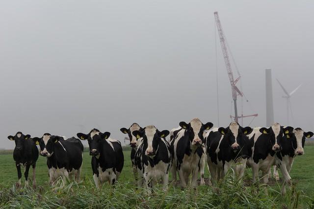 Windradbaustelle mit Kühen