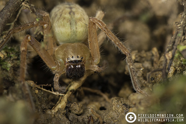Heavy huntsman spider- Thelcticopis sp. ♀